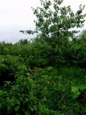fairy forest garden waldgarten zone 2 kleinere b ume obst und nussb ume. Black Bedroom Furniture Sets. Home Design Ideas