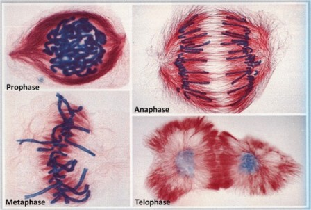 Image result for mitosis stages
