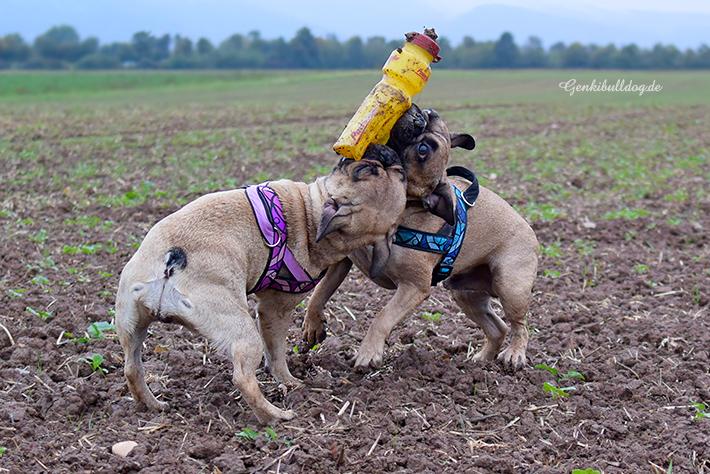 Hundeblog - Genki Bulldog