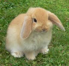Fotos de conejos de razas 38