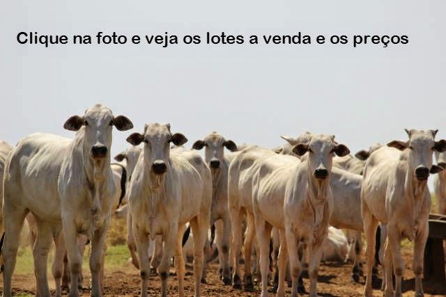 Novilhas e Vacas a venda no MS