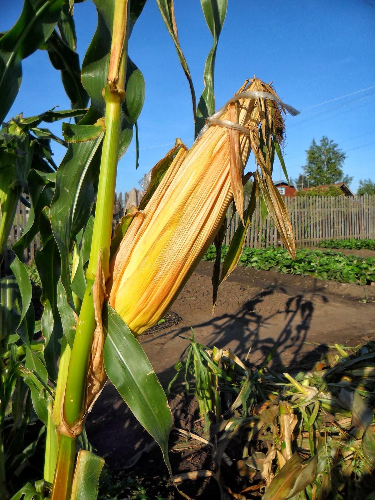 Выращивание кукурузы на початки 98