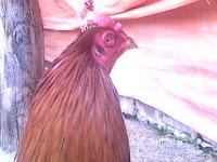 jual ayam aduan