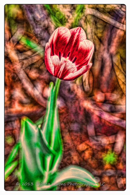 Psychedelic Tulip in the Wind: On www.seeyoubehindthelens.com by Dakota Visions Photography LLC