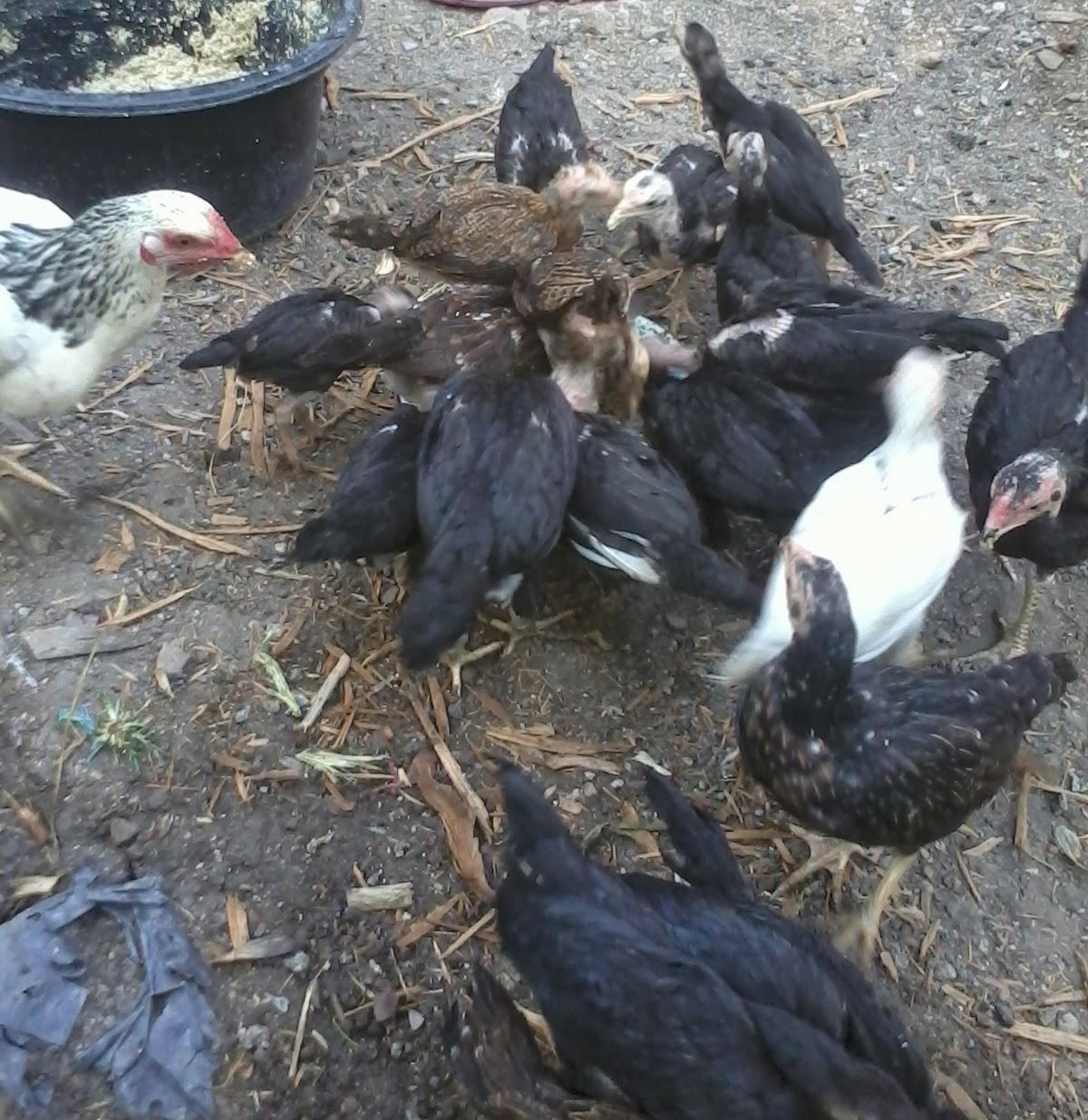 Juga Kami Sediakan Bibit Ayam Potong Layer Atau Petelur Pejantan Jantan Berbagai Merek Dan Kualitas Terjamin