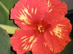 Chad hibiscus