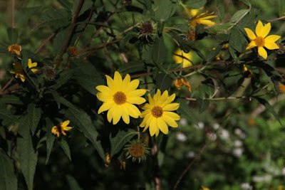 Helianthus occidentalis (Few-leaf Sunflower)
