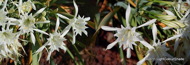 Sea daffodil Pancratium maritimum blossom