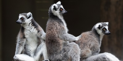 Lemur akan pupus tidak lama lagi jika tiada bantuan tiba.