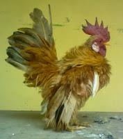 tips merawat ayam serama