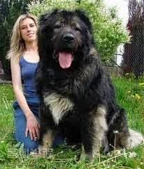 Jenis Anjing Besar