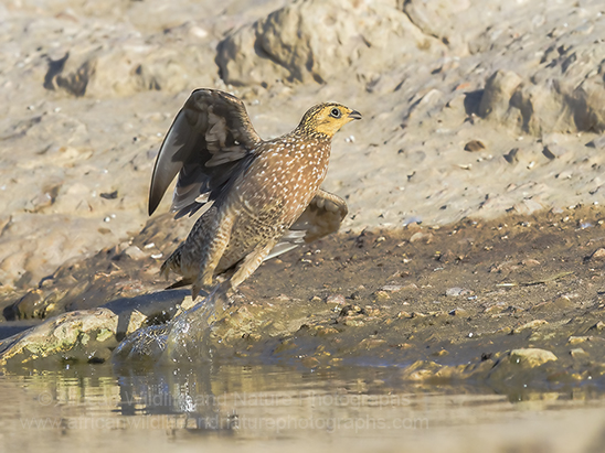 Buchells Sandgrouse (Pterocles burchelli)