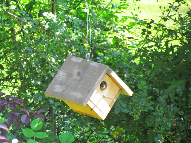 house wrens in box