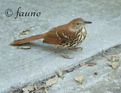 Brown Thrasher after crashing into window
