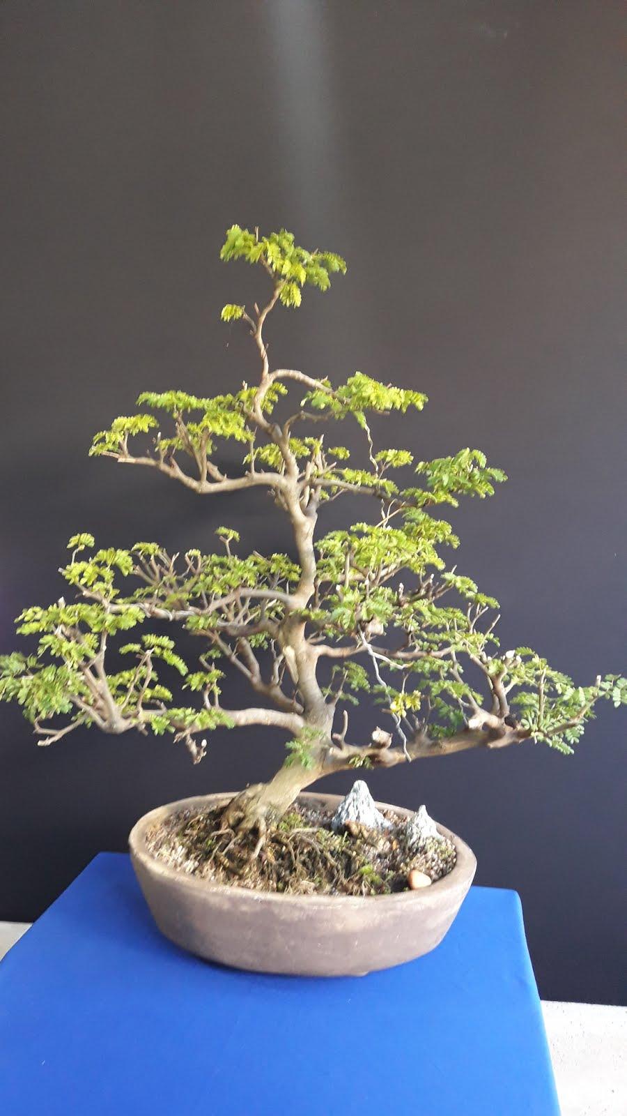 Bonsai  Pithecolobium