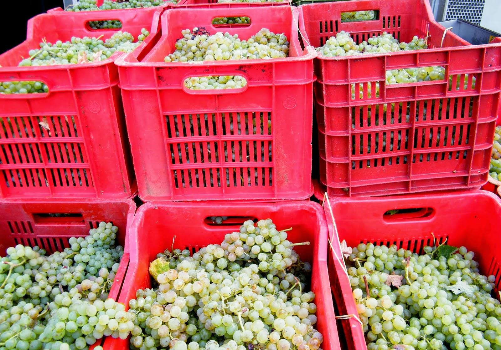 Valentini wine club lavorazione del vermentino e del rosato dal campo alla botte - Cassette da giardino ...
