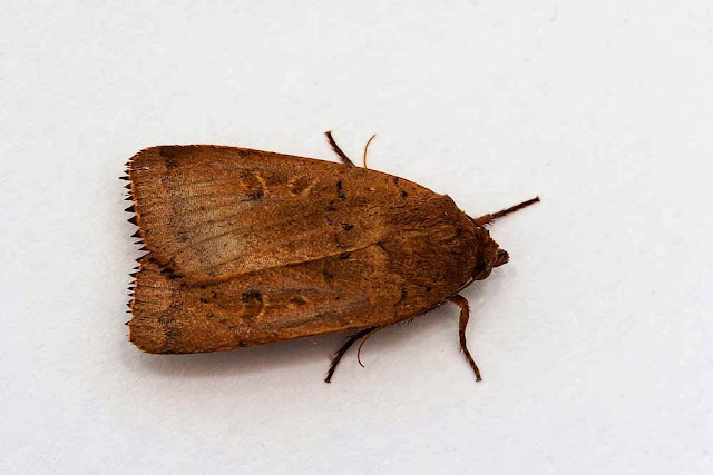 Lesser Yellow Underwing - Photographed in Milton Keynes
