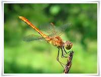 Dragonfly Animal Pictures