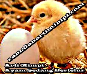 Arti Mimpi Ayam Sedang Bertelur