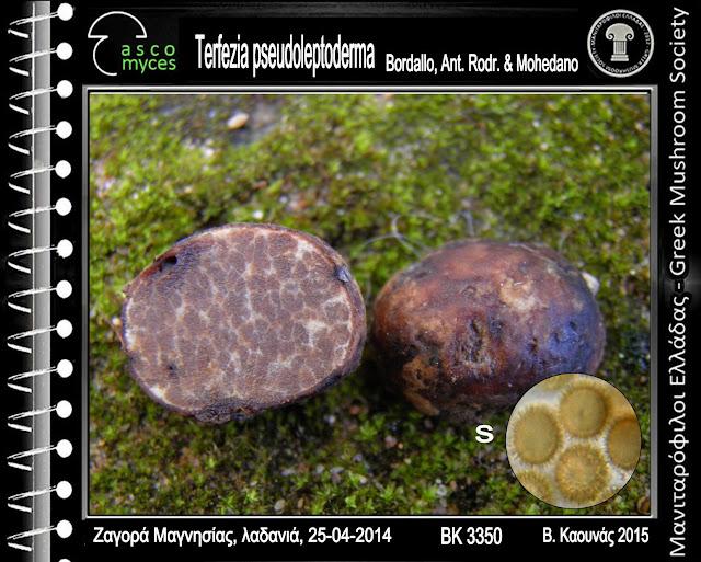 Terfezia pseudoleptoderma Bordallo, Ant. Rodr. & Mohedano