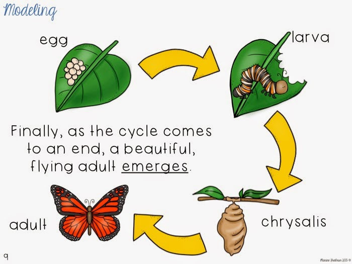 Life cycle of butterfly model - photo#28