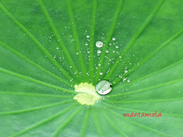 蓮花, lotus plants