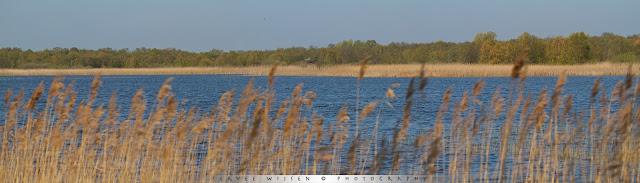 Purperreiger nesten aan de overkant van het water - Purple heron nests across the lake