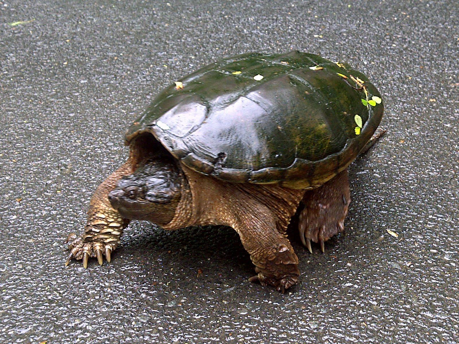 Baby Common Snapping Turtles The Veiled Chameleon Chameleons