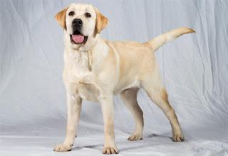 Las Mejores Razas de Perros para el Hogar