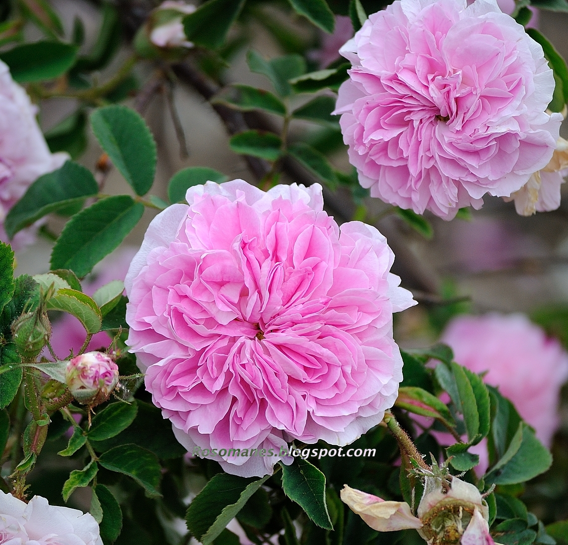 A Rose Is A Rose Old Garden Roses Albas