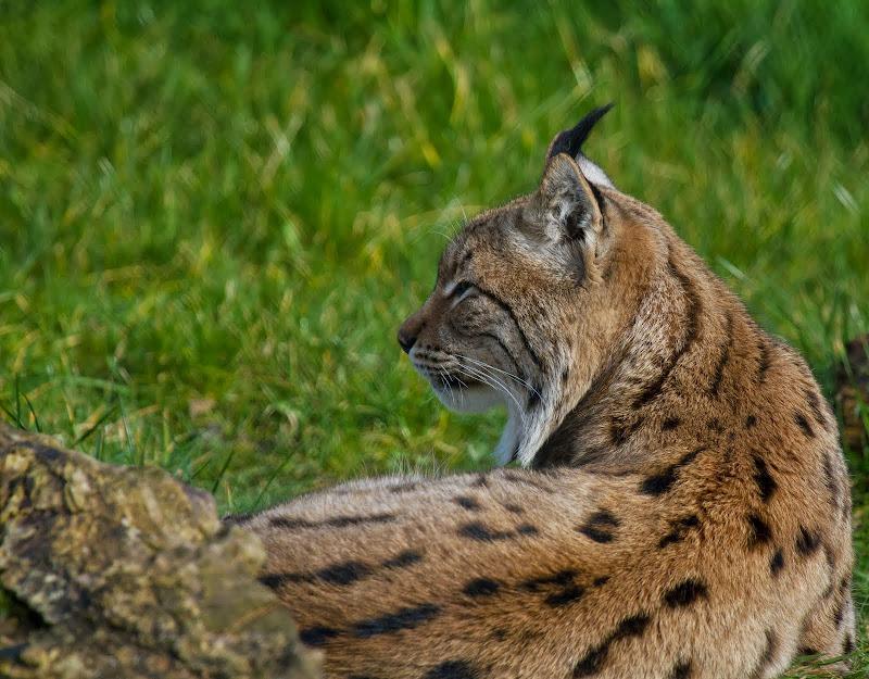 Lynx blikt vooruit title=