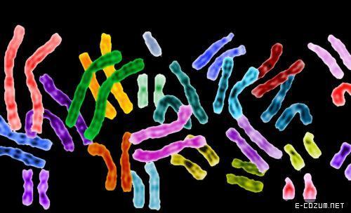 İnsanın kromozom sayısı 46, bezelyeninki 14 ve tatlı su istakozu da denilen kerevitinki ise 200.
