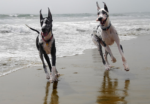 How Fast can Great Danes Run?