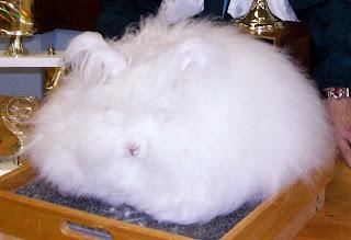 standar kelinci anggora inggris