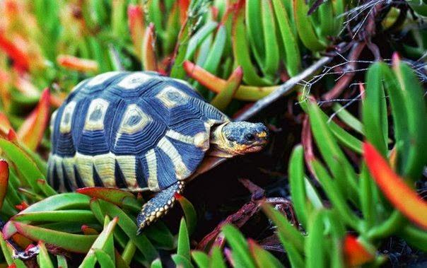 синяя черепаха черепаха