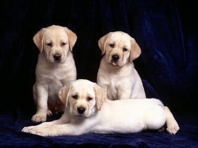 Labrador Cute Puppies Wallpapers