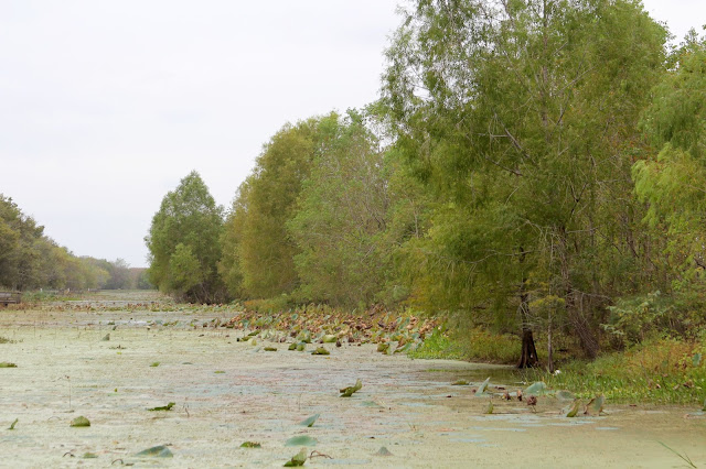 Bald Cypress Trees Along Elm Lake-Brazos Bend State Park-Needville, Texas