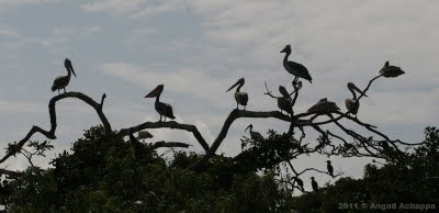 spot billed pelicans at ranganathittu