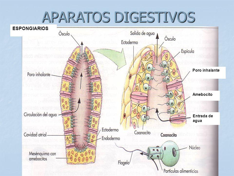 ESPACIO ACADEMICO: SISTEMA DIGESTIVO DE ANIMALES VERTEBRADOS E ...