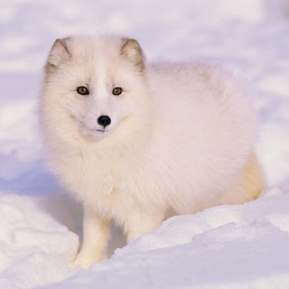 The Beauty of White/Arctic Fox
