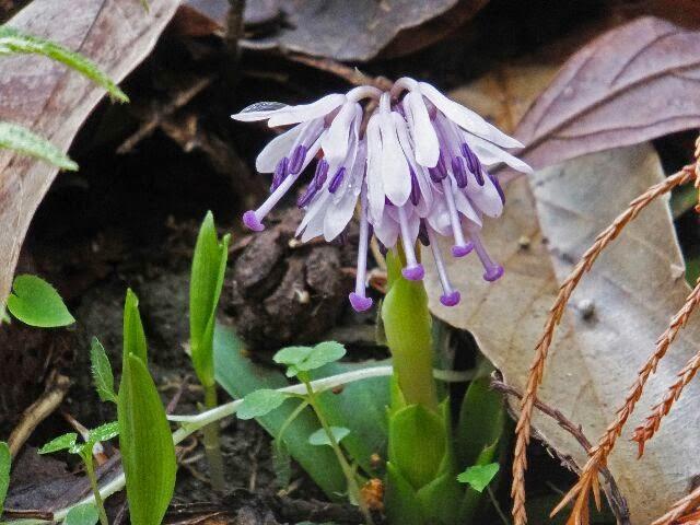 ユリ科のショウジョウバカマの花も咲いていた。
