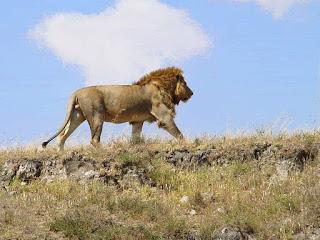 Afrički lav slike besplatne pozadine za desktop download