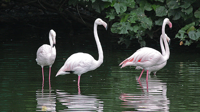 flamingo swan black isola mauritius isle isole maurizius bird birdwatching