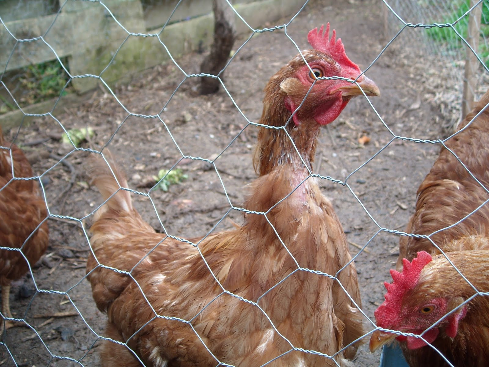 Feather Lice Chickens http://zucchiniisland.blogspot.com/2011/07/keep-chickens-warm-in-winter.html