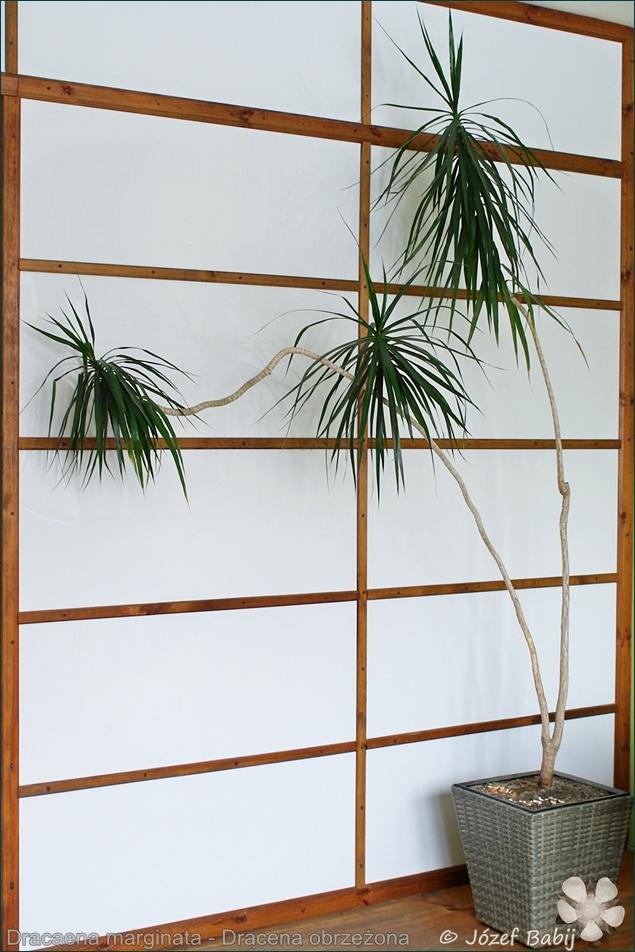 Dracaena marginata - Dracena obrzeżona pokrój
