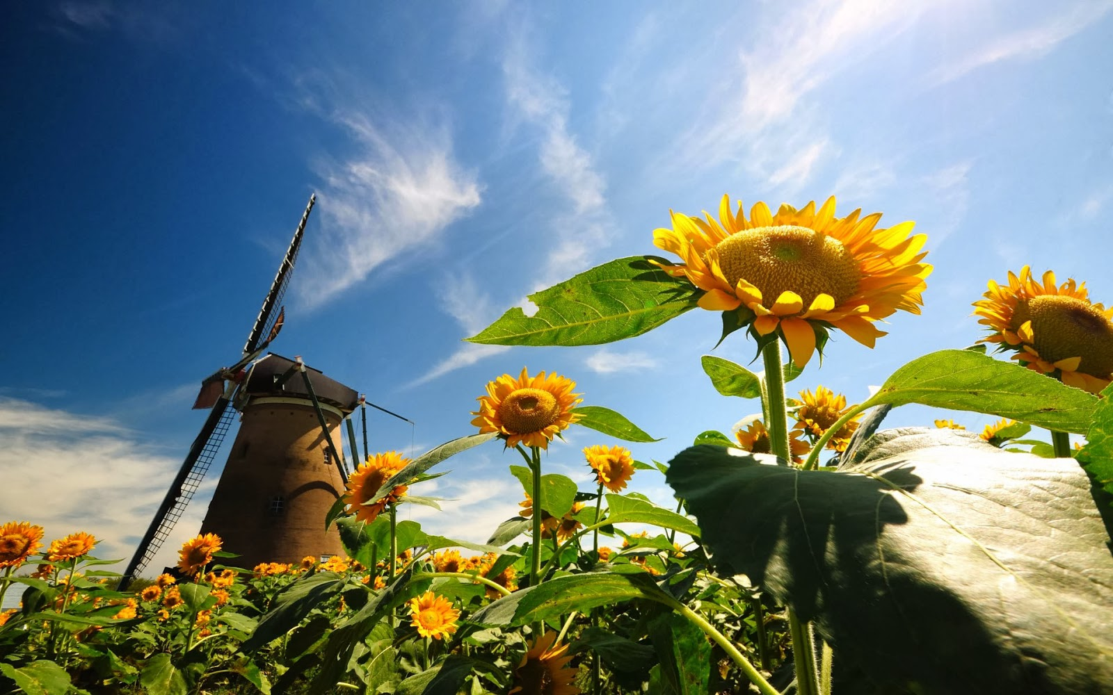 foto veld zonnebloemen en molen