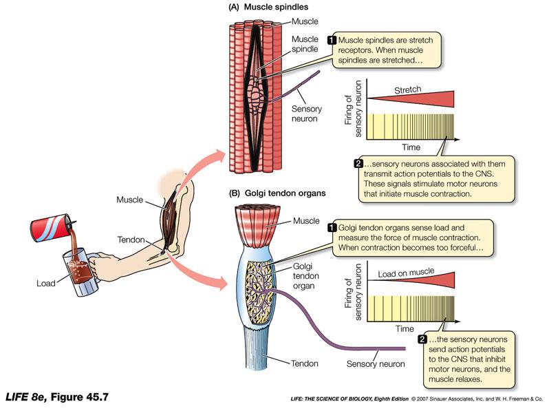 Fisioterapia: ¿Qué es la Propiocepción? y Ejercicios Propioceptivos