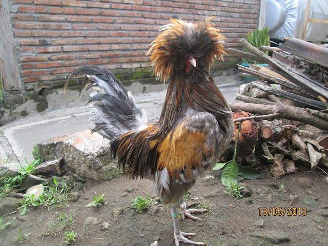 jual ayam mahkota