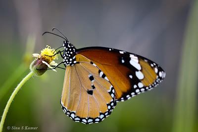Plain Tiger Butterfly - Danaus Chrysippus