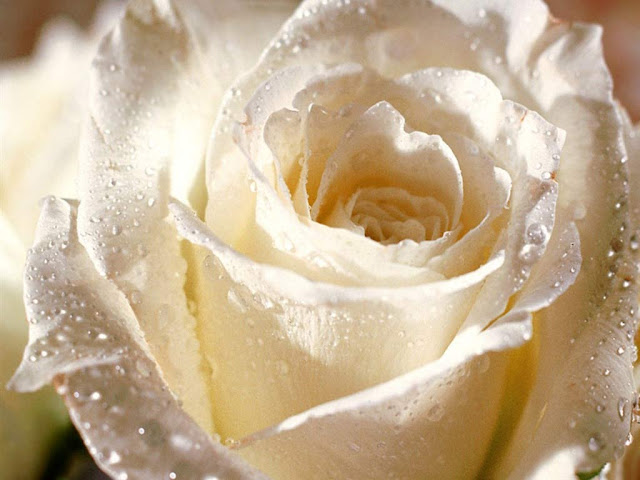 White Roses كۆمهلێك وێنهی گوڵی سپـی زۆرجوان